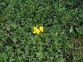 Lotus corniculatus - 04.jpg