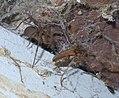 Loxosceles reclusa P1390699a.jpg
