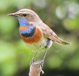 Bluethroat species of small passerine bird
