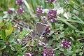 Lycaena hippothoe, Vanoise - img 22645.jpg