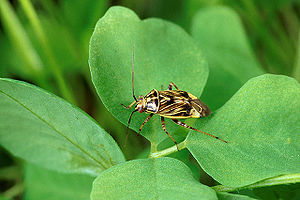 Lygus lineolaris on Trifolium.jpg