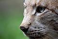 Lynx lynx - 06.jpg