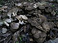 Lyophyllum decastes ハタケシメジ、畑占地・畑湿地 A172783.JPG
