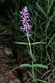 Lythrum salicaria 02 by-dpc.jpg