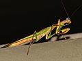 Madagascan Marble Mantis (Polyspilota aeruginosa) (13947660613).jpg