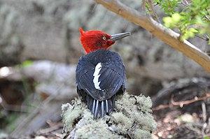 Alerce Costero National Park - Black or Magellanic woodpecker