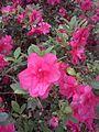 Magenta rhododendron Arboretum Belmonte Wageningen.jpg