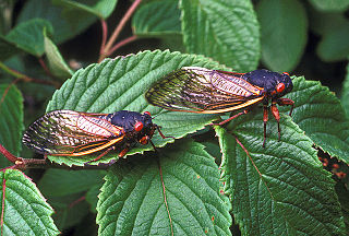 species of 17-year periodic cicada