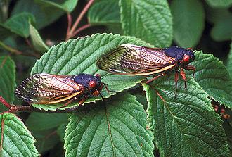 Paraneoptera - Magicicada septendecim, a cicada (Hemiptera)