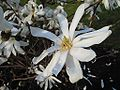 Magnolia stellata (Jardin des plantes).jpg