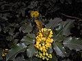 Mahonia aquifolium 2016-04-19 8019.jpg