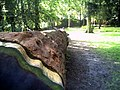 Mai - Botanischer Garten Freiburg - 2016 Redwood Gigant - panoramio.jpg
