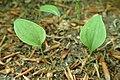 Maianthemum bifolium kz02.jpg