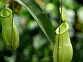Malaysia - Penang Butterfly Gardens - 19 - pitcher plant (5208964472).jpg