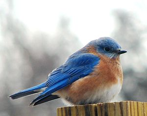 Eastern Bluebird on a cold December day.