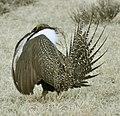 Male Greater Sage-Grouse (7074744573).jpg