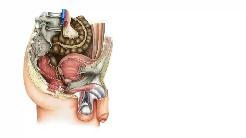 File:Male pelvic viscera and perineum (preview) - Human Anatomy ...