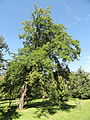Malus sylvestris - Botanical Garden in Kaisaniemi, Helsinki - DSC03467.JPG