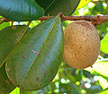 Mammea americana, the Mammee Apple (9857779766).jpg