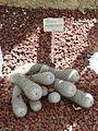 Mammillaria bombycina - United States Botanic Garden - DSC09490.JPG