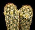 Mammillaria elongata var stella-aurata2 ies.jpg