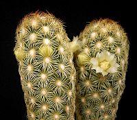 Mammillaria elongata var stella-aurata2 ies