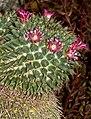 Mammillaria magnimamma Kiev2.jpg