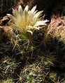 Mammillaria prolifera20090429 15.jpg