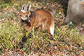 Maned Wolf 5, Beardsley Zoo, 2009-11-06.jpg