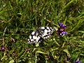 Marbled Whites - geograph.org.uk - 490505.jpg