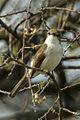 Marico Flycatcher - Etosha - Namibia 0003 (18702185984).jpg