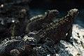 Marine iguanas (4228337913).jpg