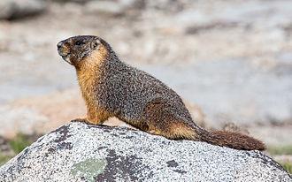 Marmot - Image: Marmota flaviventris (Yellow Bellied Marmot), Yosemite NP Diliff