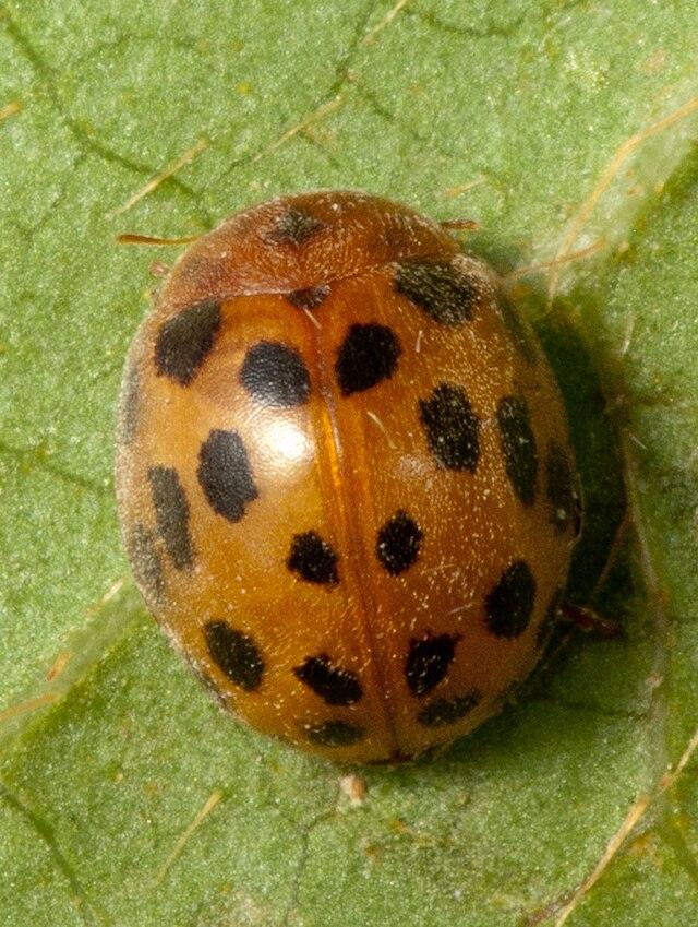 Spot Ladybird