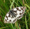Melanargia galathea. Marbled White. - Flickr - gailhampshire.jpg