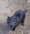 Melanic tasmanian devil.jpg