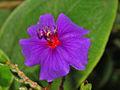 Melastomataceae - Tibouchina heteromalla-3.JPG
