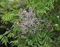 Melia azedarach flower.JPG