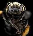 Melissodes desponsa, F, face, Virginia, Prince William County 2012-12-12-14.48.08 ZS PMax (8296319955).jpg