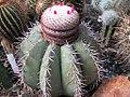 Melocactus warasii.jpg
