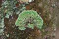 Menegazzia subsimilis 43469.jpg
