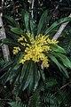 Meryta coriacea (scott.zona).jpg
