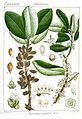 Microtropis ramiflora Rungiah.jpg