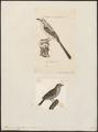 Mimus polyglottus - 1700-1880 - Print - Iconographia Zoologica - Special Collections University of Amsterdam - UBA01 IZ16300319.tif