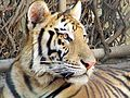 Mirada del tigre.JPG