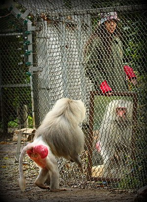 Mirror test - Baboon looking in mirror