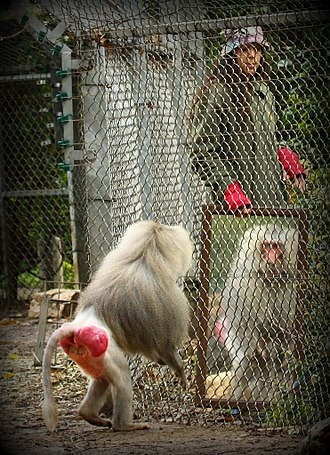 Animal cognition - Mirror test with a baboon