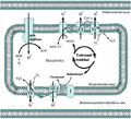 Mitokondriaalne elektronide transportahel.png