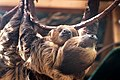 Mom Sloth Carrying Big Baby (18254770323).jpg