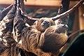 Mom Sloth Carrying Big Baby (18254770323).jpg